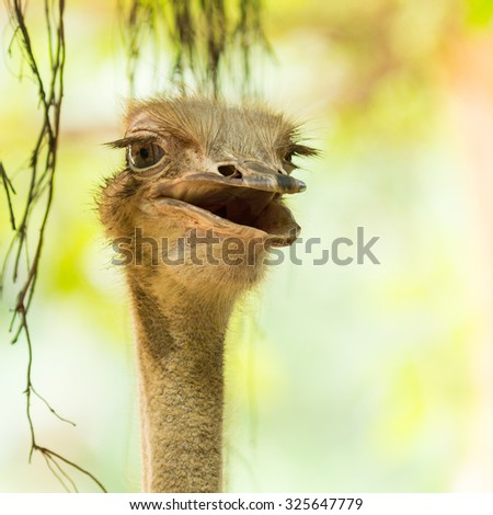 The ostrich bird living in zoo.