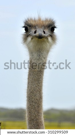 The Ostrich or Common Ostrich (Struthio camelus) is either one or two species of large flightless birds native to Africa - stock photo