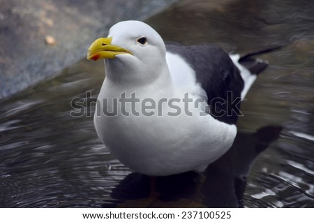 the Pacific gull is resting in cool water on a hot day - stock photo
