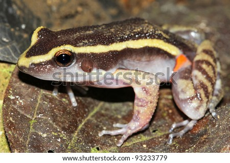 The Painted Antnest Frog (Leptodactylus lineatus) in the Peruvian Amazon - stock photo