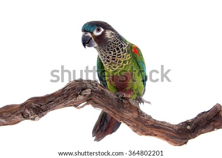 The painted conure, pyrrhura picta, isolated on white background