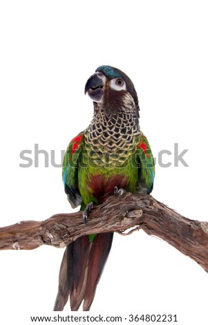The painted conure, pyrrhura picta, isolated on white background - stock photo