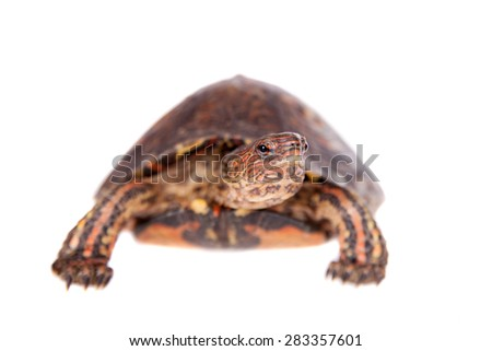 The Painted wood turtle on white