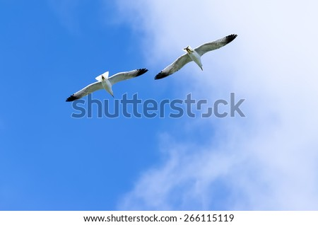 the pair of gulls steams in sky - stock photo