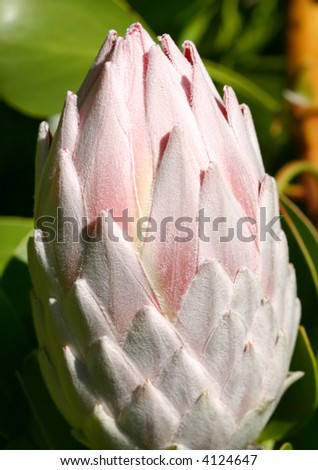The pale pink bud of a the girant protea cynaroides.  The flowerheads vary in size, from about 120 mm to 300 mm in diameter.   Proteas survive in poor soils but require full sun. - stock photo