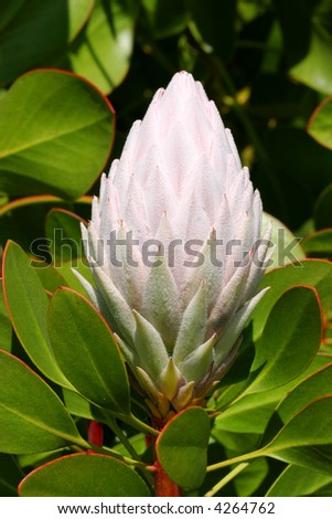 The pale pink bud of Protea cynaroides.  The bracts are covered in tiny soft hairs, which are called beards. Leaves and stems have traces of red. - stock photo