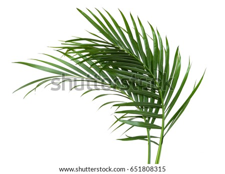 the palm leaf isolated white