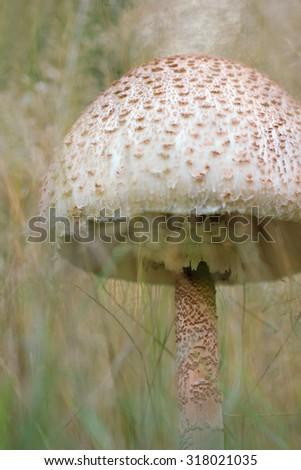 The Parasol Mushroom (Macrolepiota procera) - stock photo
