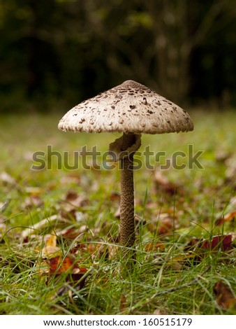 The parasol mushroom (Macrolepiota procera) in an autumn landscape