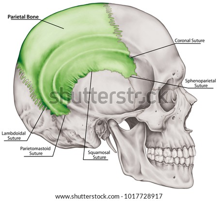 Parietal Bone Cranium Bones Head Skull Stock Illustration 1017728917