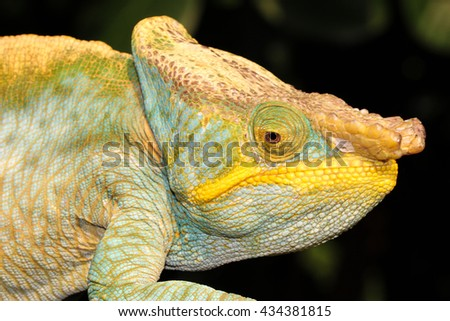 The Parson's chameleon is a large species of chameleon that is endemic to isolated pockets of humid primary forest in eastern and northern Madagascar. - stock photo