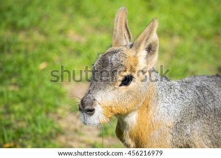 The Patagonian mara (Dolichotis patagonum), a relatively large rodent. Head of Patagonian Mara - stock photo