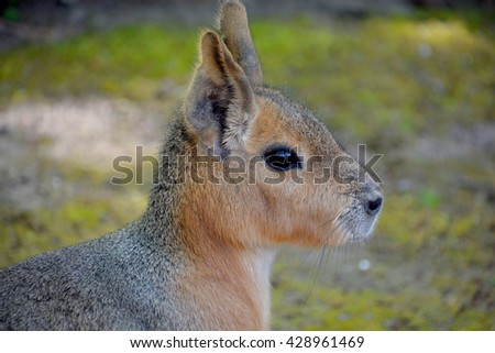 The Patagonian mara is a relatively large rodent in the mara genus. It is also known as the Patagonian cavy, Patagonian hare or dillaby. - stock photo