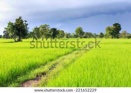 The path between rice field - stock photo