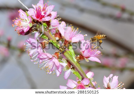 The peach blossom in the greenhouses - stock photo
