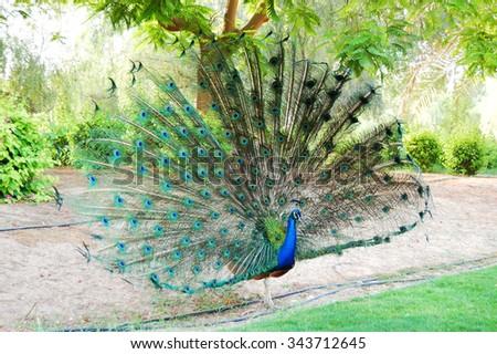 The peacock bird is near residence of Sheikh, Dubai, UAE - stock photo