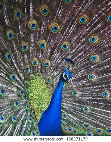 The Peacock's dance (2). A male peacock's elegant, bright and colorful plumage is best displayed when it dances.