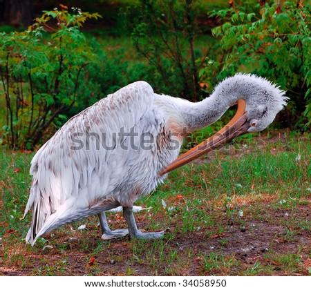 the pelican - stock photo