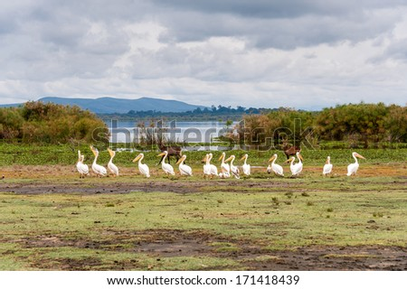 The pelicans in Naivasha lake of Kenya. - stock photo