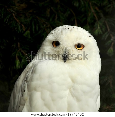 The penetrating stare of a snowy owl with it's stunning white plumage.