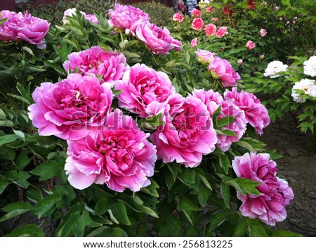 Remarkable Peony Garden Stock Photo   Shutterstock With Fetching The Peony In The Royal Garden Of The Forbidden City With Divine Garden Centre Watford Also The Cement Garden Review In Addition Steel Garden Fence Panels And Private Gardening Jobs As Well As Garden Birds Uk Additionally How To Build A Wooden Garden Windmill From Shutterstockcom With   Fetching Peony Garden Stock Photo   Shutterstock With Divine The Peony In The Royal Garden Of The Forbidden City And Remarkable Garden Centre Watford Also The Cement Garden Review In Addition Steel Garden Fence Panels From Shutterstockcom