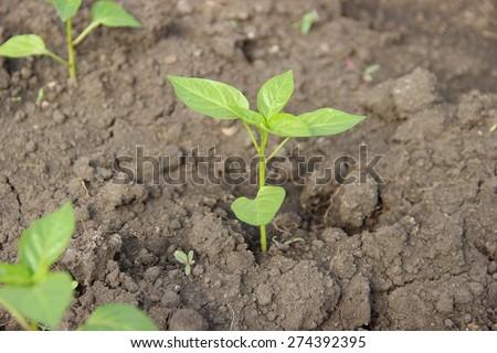 the pepper seedlings - stock photo