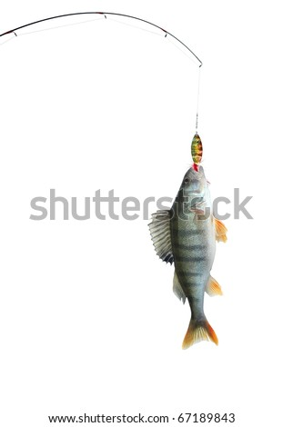 the perch on fishing-rod on white background - stock photo