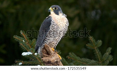 The Peregrine Falcon, also known as the Peregrine, and historically as the Duck Hawk in North America, is a widespread bird of prey in the family Falconidae - stock photo