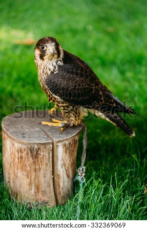 The peregrine falcon (Falco peregrinus), also known as the peregrine, and historically as the duck hawk in North America, is a widespread bird of prey in the family Falconidae. - stock photo