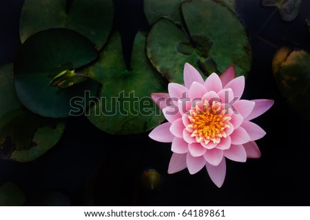 The Perfect Top view of Beautiful Pink Lotus in pond with black background - stock photo