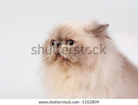 The persian cat of blue-point color