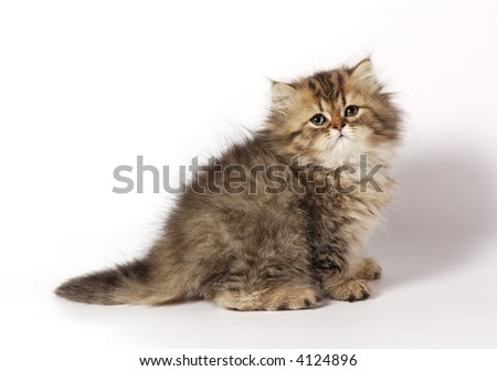 The Persian kitten - stock photo