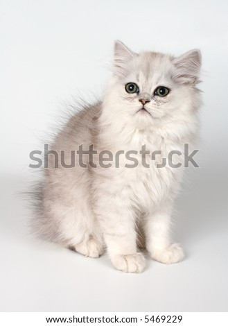 The persian kitten with green eyes - stock photo