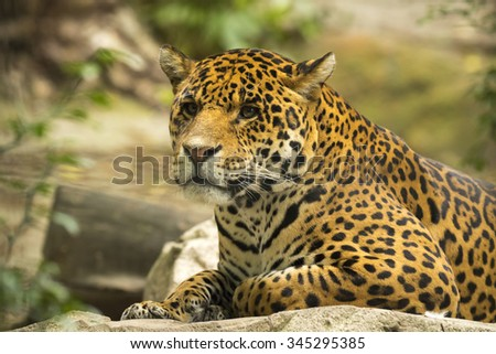 The Persian leopard (Panthera pardus ciscaucasica Panthera pardus saxicolor),  is the largest leopard subspecies native to the Caucasus region, southern Turkmenistan, and parts of western Afghanistan. - stock photo