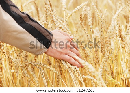 The person examines a crop wheat in a field - stock photo