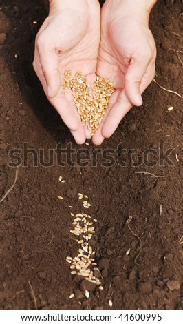 The person manually sowing a grain of the wheat - stock photo