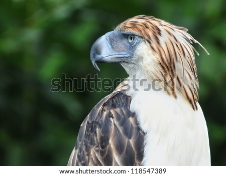 The Philippine Eagle also known as the Monkey-eating Eagle. - stock photo