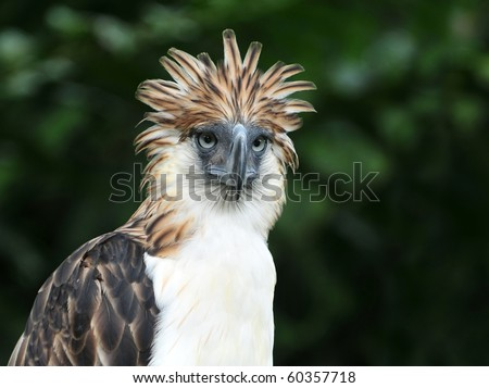 The Philippine Eagle also known as the Monkey-eating Eagle - stock photo
