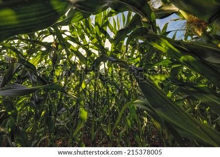 The photo shows a corn field from the frog perspective. - stock photo