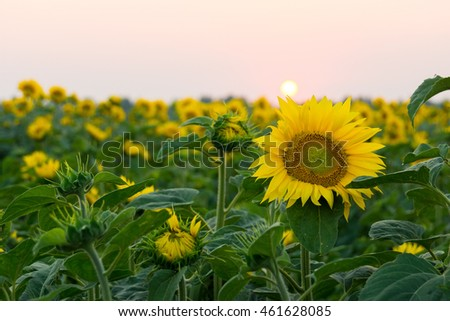 The photo shows blooming sunflowers in the field