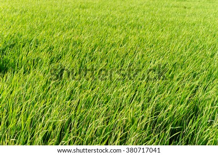 The photograph of rice fields in Tien Giang, Vietnam. Tien Giang is a province in the Mekong Delta region of southern Vietnam.