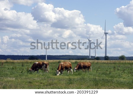 The Photography of cows, which graze in a meadow with wind turbines / Cows and windmills             - stock photo