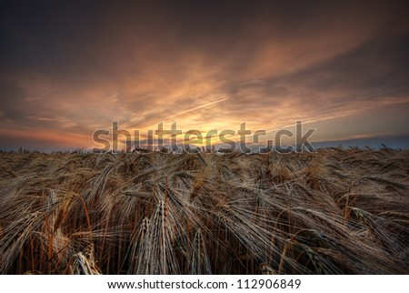 The picture shows a cloudy sky and a grainfield during sunset. - stock photo