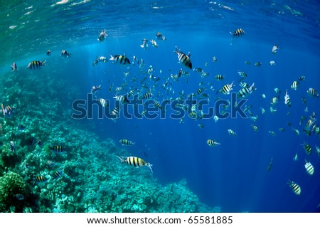 The picture shows a lot of abudefduf fishes, swimming around coral reef, in the water of Red Sea, Egypt, near Dahab town.