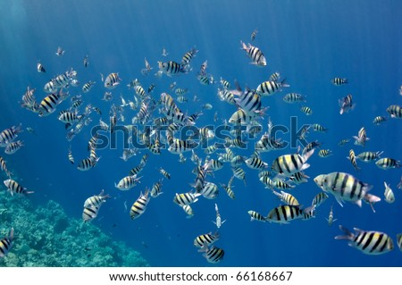 The picture shows a lot of abudefduf fishes, swimming around coral reef, in the water of Red Sea, Egypt, near Dahab town. - stock photo