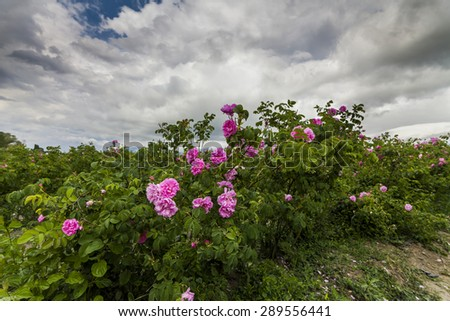 The picturesque landscape with rose field under a cloudy sky. Bulgaria. - stock photo