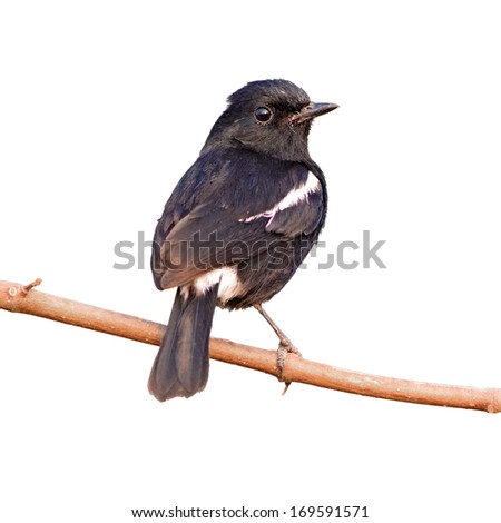 The Pied Bushchat on white background - stock photo