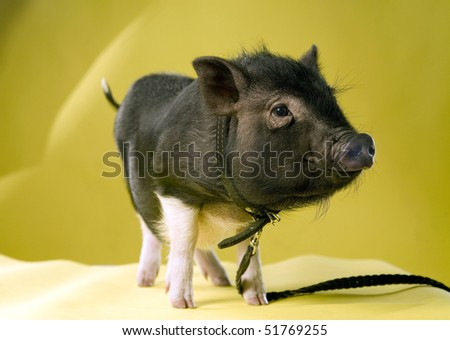 THE PIG - stock photo