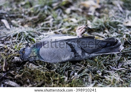 The pigeon frozen to death in cold night, on lawn near sidewalk  - stock photo