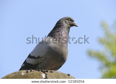 The pigeon sits on a stone and looks in a distance - stock photo